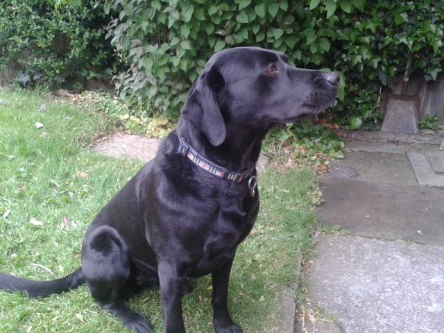 Black labrador puppies for sale image